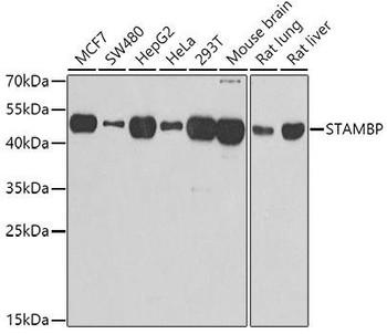 Signal Transduction Antibodies 3 Anti-STAMBP Antibody CAB7065