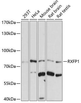 ChIP Antibodies Anti-RXFP1 Antibody CAB7127