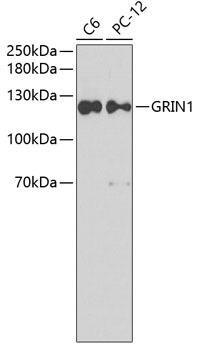 Signal Transduction Antibodies 3 Anti-GRIN1 Antibody CAB7167