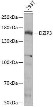 Signal Transduction Antibodies 3 Anti-DZIP3 Antibody CAB7179