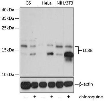 KO Validated Antibodies 1 Anti-LC3B Antibody CAB7198KO Validated