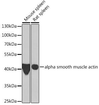 Cell Biology Antibodies 11 Anti-alpha smooth muscle actin Antibody CAB7248