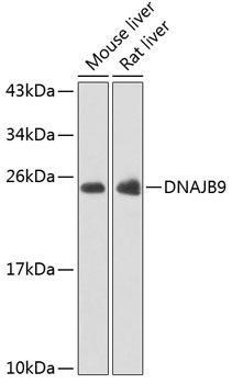 Signal Transduction Antibodies 3 Anti-DNAJB9 Antibody CAB7494