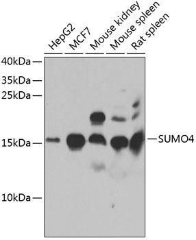 Signal Transduction Antibodies 3 Anti-SUMO4 Antibody CAB7517