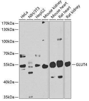 Signal Transduction Antibodies 3 Anti-GLUT4 Antibody CAB7637