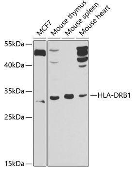 Cell Biology Antibodies 11 Anti-HLA-DRB1 Antibody CAB7685