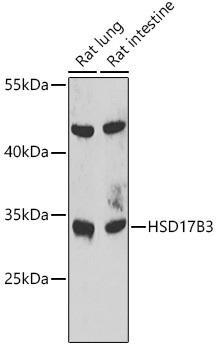 Metabolism Antibodies 2 Anti-HSD17B3 Antibody CAB7687