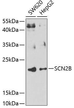 Signal Transduction Antibodies 3 Anti-SCN2B Antibody CAB7723