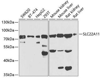 Signal Transduction Antibodies 3 Anti-SLC22A11 Antibody CAB7816