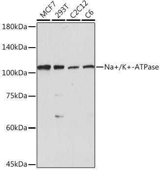 Signal Transduction Antibodies 3 Anti-Na/K-ATPase Antibody CAB7878