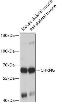 Signal Transduction Antibodies 3 Anti-CHRNG Antibody CAB7884