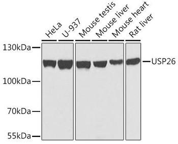 Signal Transduction Antibodies 3 Anti-USP26 Antibody CAB7999