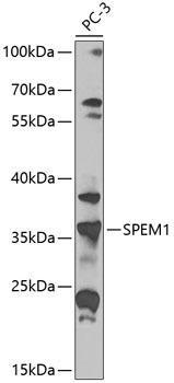Developmental Biology Anti-SPEM1 Antibody CAB8076