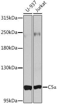 Immunology Antibodies 2 Anti-Complement C5 Antibody CAB8104