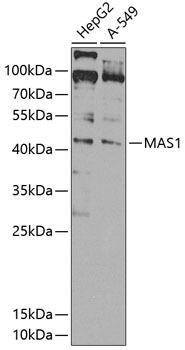 Signal Transduction Antibodies 3 Anti-MAS1 Antibody CAB8132