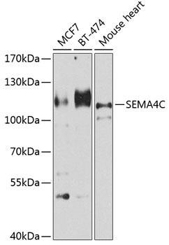 Developmental Biology Anti-Semaphorin-4C Antibody CAB8225