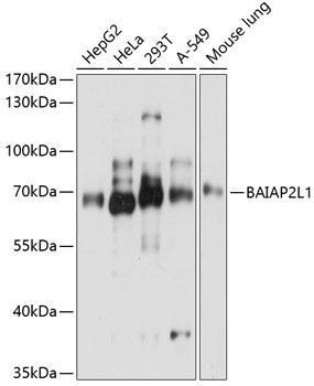 Signal Transduction Antibodies 3 Anti-BAIAP2L1 Antibody CAB8238