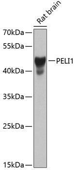 Signal Transduction Antibodies 3 Anti-PELI1 Antibody CAB8240