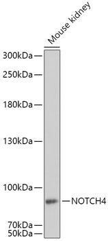 Developmental Biology Anti-NOTCH4 Antibody CAB8303