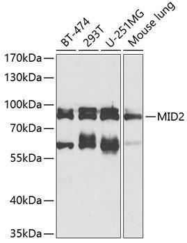 Signal Transduction Antibodies 3 Anti-MID2 Antibody CAB8325