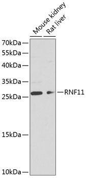 Signal Transduction Antibodies 3 Anti-RNF11 Antibody CAB8328