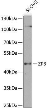 Developmental Biology Anti-ZP3 Antibody CAB8355