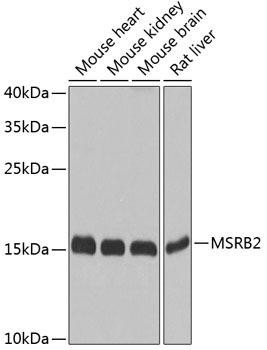 Cell Biology Antibodies 12 Anti-MSRB2 Antibody CAB8364