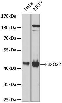 Signal Transduction Antibodies 3 Anti-FBXO22 Antibody CAB8367