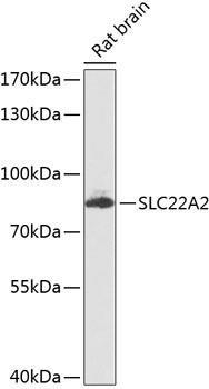 Signal Transduction Antibodies 3 Anti-SLC22A2 Antibody CAB8453
