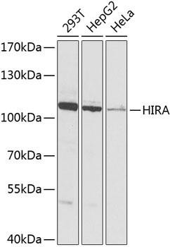 Epigenetics and Nuclear Signaling Antibodies 4 Anti-Protein HIRA Antibody CAB8461