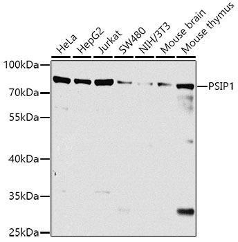 Immunology Antibodies 3 Anti-PSIP1 Antibody CAB8483