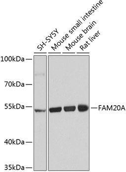 Signal Transduction Antibodies 3 Anti-Pseudokinase FAM20A Antibody CAB8496
