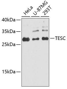 Developmental Biology Anti-TESC Antibody CAB8689