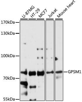 Developmental Biology Anti-GPSM1 Antibody CAB8713