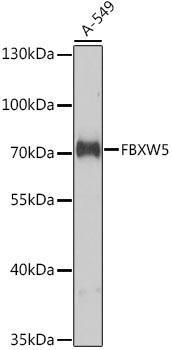 Signal Transduction Antibodies 3 Anti-FBXW5 Antibody CAB9345