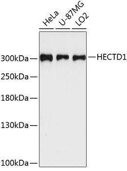 Signal Transduction Antibodies 3 Anti-HECTD1 Antibody CAB9433
