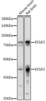 Developmental Biology Anti-DCLK1 Antibody CAB9474