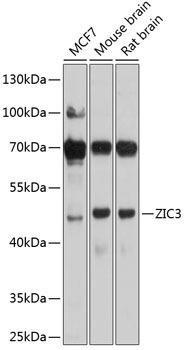 Developmental Biology Anti-ZIC3 Antibody CAB9476