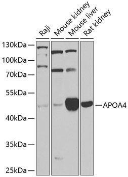 Cell Biology Antibodies 12 Anti-Apolipoprotein A-IV Antibody CAB9792