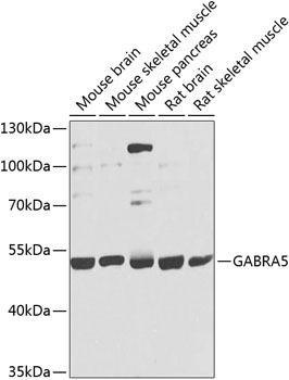 Signal Transduction Antibodies 3 Anti-GABRA5 Antibody CAB9932