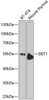 Signal Transduction Antibodies 3 Anti-DET1 homolog Antibody CAB9974