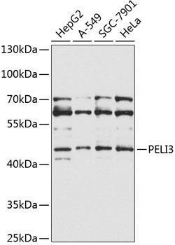 Signal Transduction Antibodies 3 Anti-PELI3 Antibody CAB9999