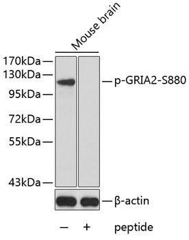 Signal Transduction Antibodies 3 Anti-Phospho-GRIA2-S880 Antibody CABP0257