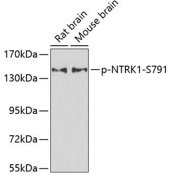 Developmental Biology Anti-Phospho-NTRK1-S791 Antibody CABP0272