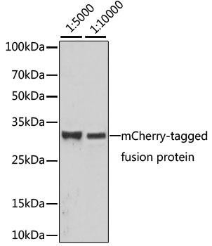 Protein Tags Anti-Mouse anti mCherry-Tag Monoclonal Antibody CABE002