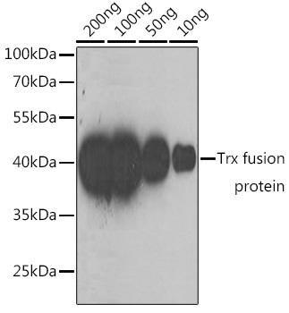 Protein Tags Anti-Mouse anti Trx-Tag Monoclonal Antibody CABE023