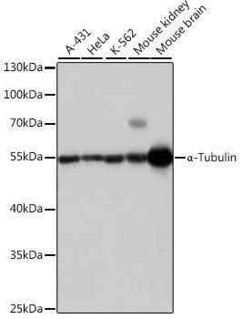 Loading Controls Anti-Alpha-Tubulin Antibody CABC007