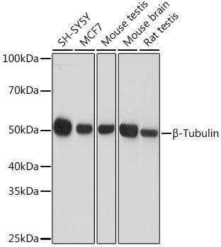 Cell Biology Antibodies 16 Anti-Beta-Tubulin Antibody CABC008
