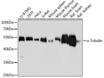 Loading Controls Anti-Alpha-Tubulin Mouse Monoclonal Antibody CABC012