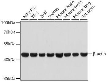Loading Controls Anti-Beta Actin Rabbit Antibody, High Dilution CABC026